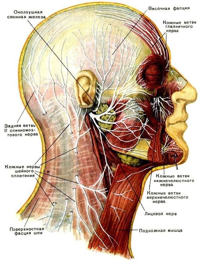 Нерв фото