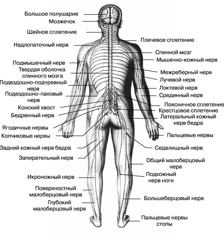 Какие нервы проходят в теле человека?