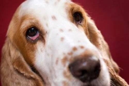 Что делать если у собаки опух глаз