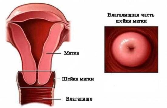 Что такое гистология матки?