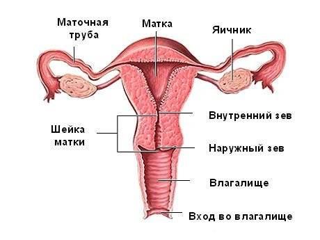 Размер матки норма